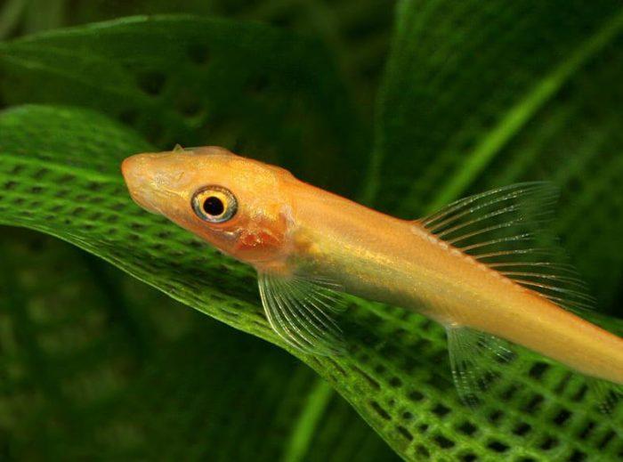 Рассматривая гиринохейлуса золотого вблизи легко заметить чешуйки