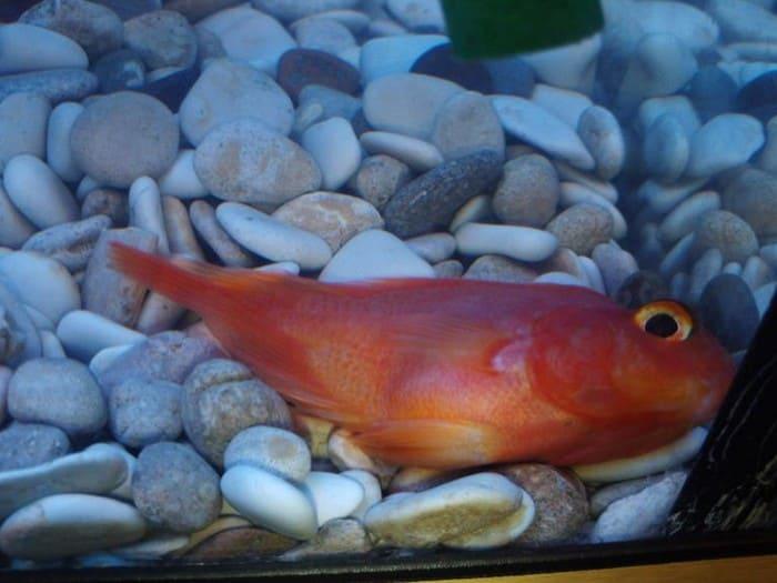 Снижение активности аквариумной рыбы