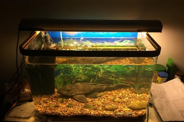 Главной ошибкой при содержании птерика является размещение его в маленький аквариум