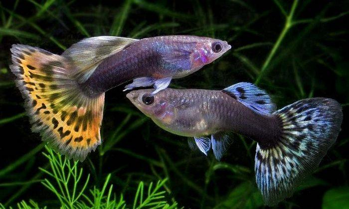 Гуппи - это живородящие рыбки