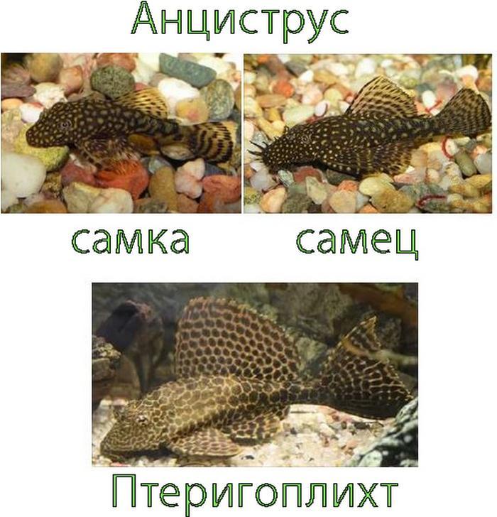 Иногда птеригоплихтов путают с другими видами донных рыб