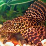 Леопардовый сомик