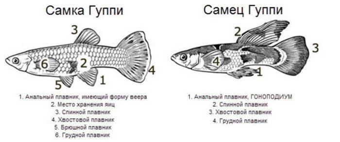 Половой зрелости рыбки достигают в возрасте 4-5 месяцев