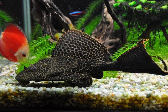 Совместимость птеригоплихта с другими рыбами уникальна