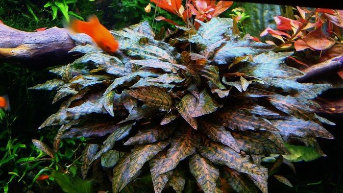 Аквариумная криптокорина нури – это достаточно редкое среди аквариумистов растение