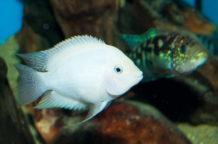 Альбинос может появиться в потомстве любой пары Зебр-Цихлазом