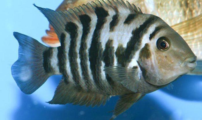 Дисковые Чернополосые цихлазомы - это рыбки с более коротким телом, напоминающим диск