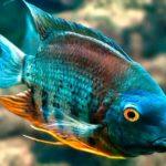 Голубой изумруд (сантарем)