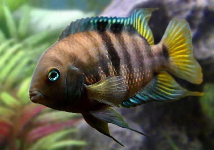 Из-за выразительной яркой и солнечной окраски этих рыб часто называют Лимонками