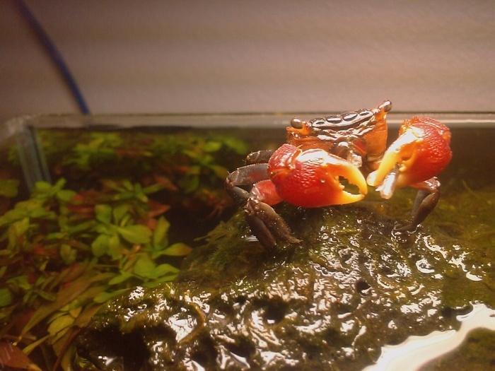 Красных дьяволов можно содержать и в общем аквариуме с рыбками