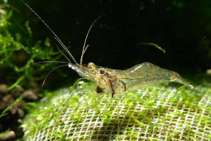 Креветка Макробрахиум постоянно находится в движении, очищая своими клешнями дно