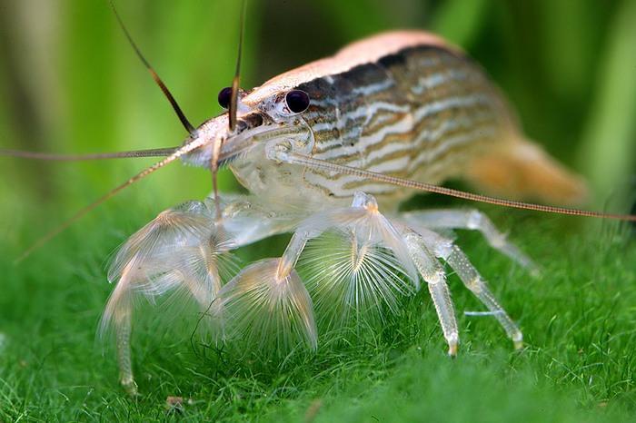 Креветка фильтратор, в отличие от других креветок неуклюжа