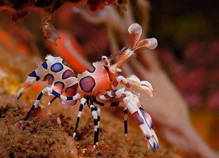 Креветки-арлекины – специализированные охотники, их главная добыча – морские звёзды