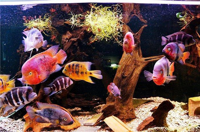 При желании к цихлазомам можно подселить и других рыб