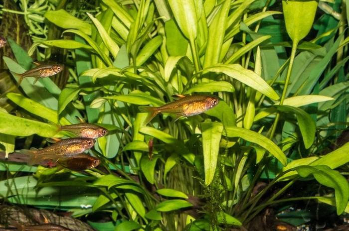 Растение семейства ароидных имеет вид миниатюрного кустика с большим корневищем