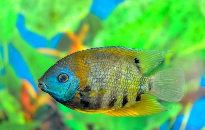 Родиной этих ярких тропических рыб является Южная Америка