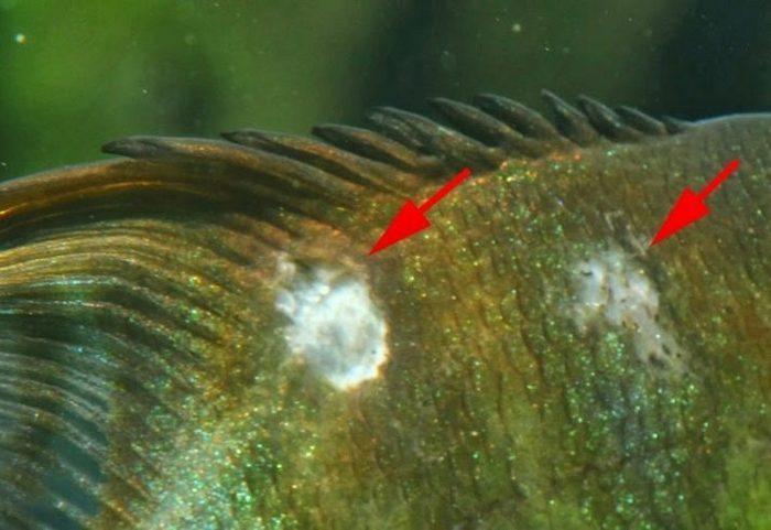 Самой распространённой проблемой для рыбки-зебры является ихтиофтириоз