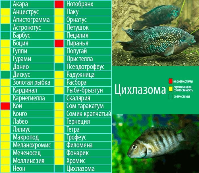 Цихлазома чернополосая не уживется с крупными и агрессивными рыбами