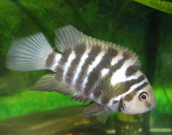 Цихлазома чернополосая являются аквариумным долгожителем и может прожить более 10-15 лет