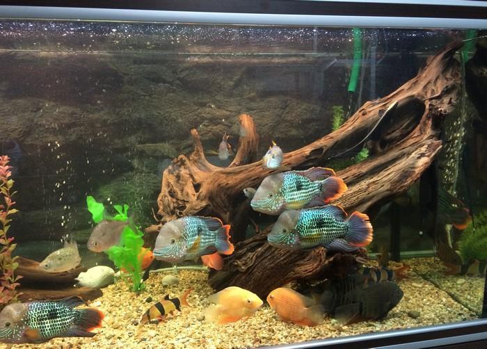 У рыбки очень часто наблюдается повышенная агрессия к соседям по аквариуму