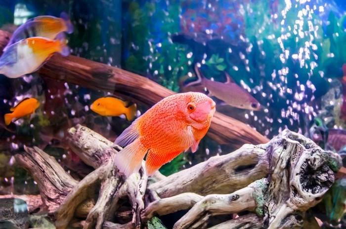 Учитывая немалые размеры этой рыбы, ей нужно выделить достаточно места