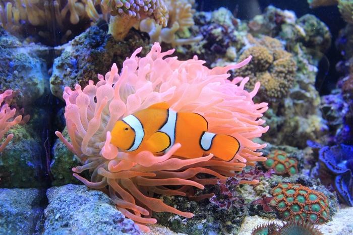 Актиний выделяют в отдельный отряд в классе Коралловых полипов
