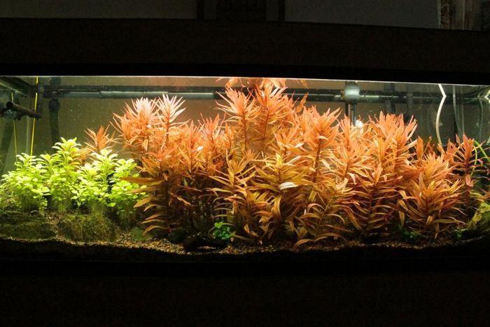 Амманиия не особо прихотлива, ее могут успешно выращивать даже неопытные аквариумисты