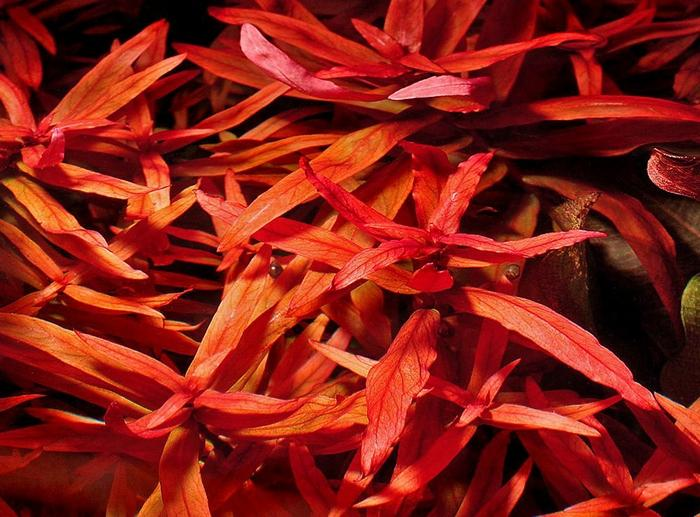 Аммания изящная является красивым многолетним растением