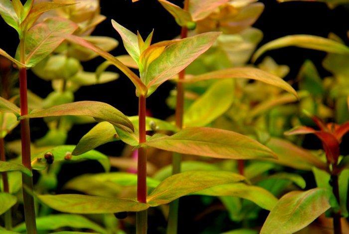Аммания мультифлора – нежное и чувствительное растение