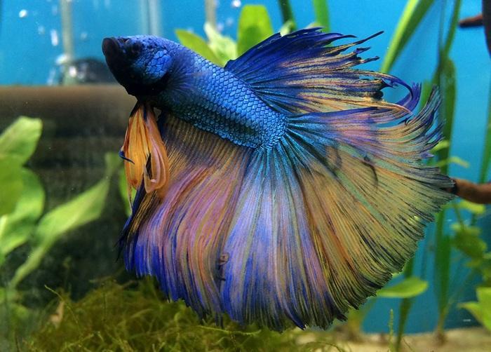 Бойцовая рыбка получила своё необычное название из-за агрессивного поведения самцов