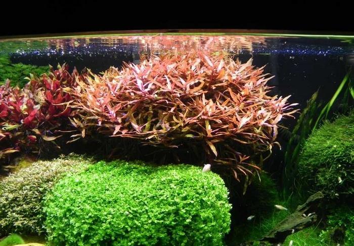 Большая часть видов этого растения размножается через черенкование