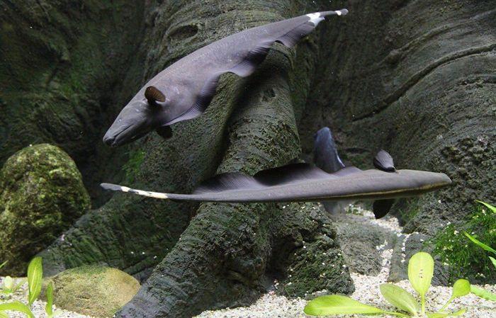 Черный нож – рыбка с необычной формой тела