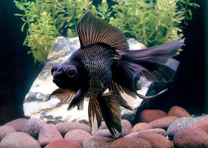 Чёрный вуалехвост - самый редкий вид