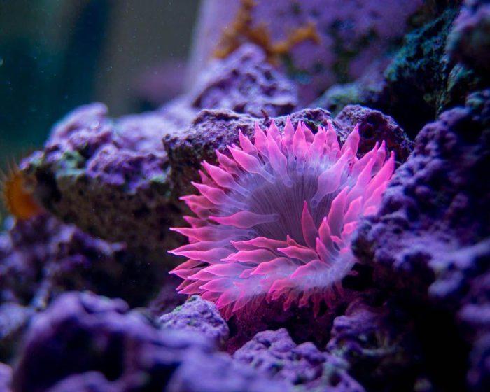 Другое название актиний — «морские анемоны»