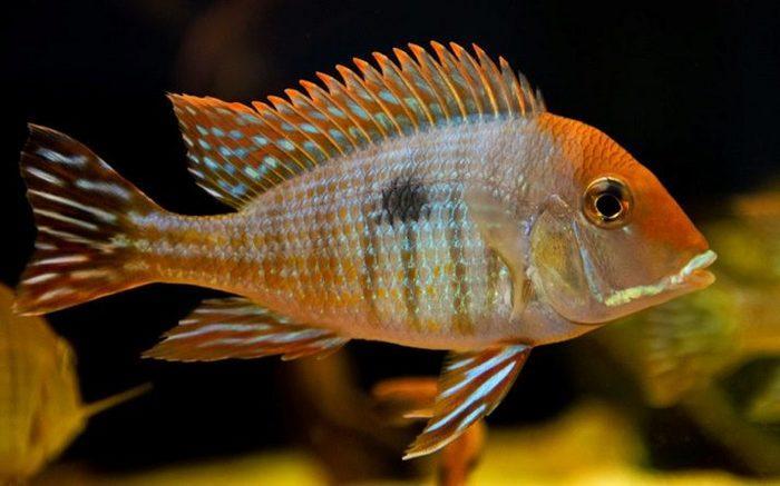 Геофагус оранжеголовый - миловидная рыбка средних размеров