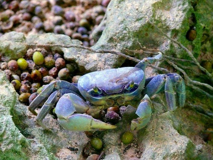Голубой краб в основном питается растительной пищей