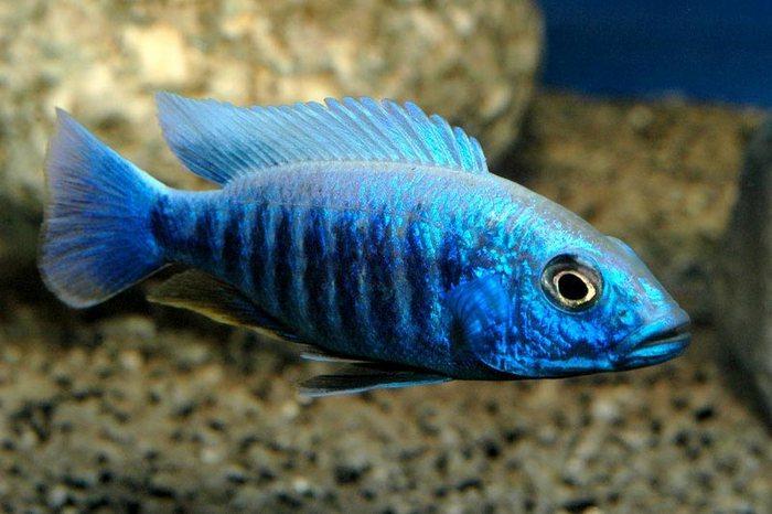 Хаплохромис васильковый покоряет своей красивой сине-фиолетовой окраской