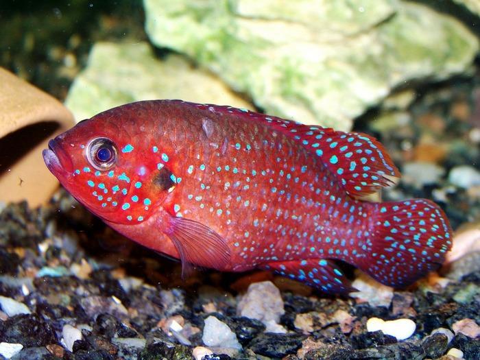 Хромис красавец – это одна из наиболее ярких рыбок для пресноводного аквариума