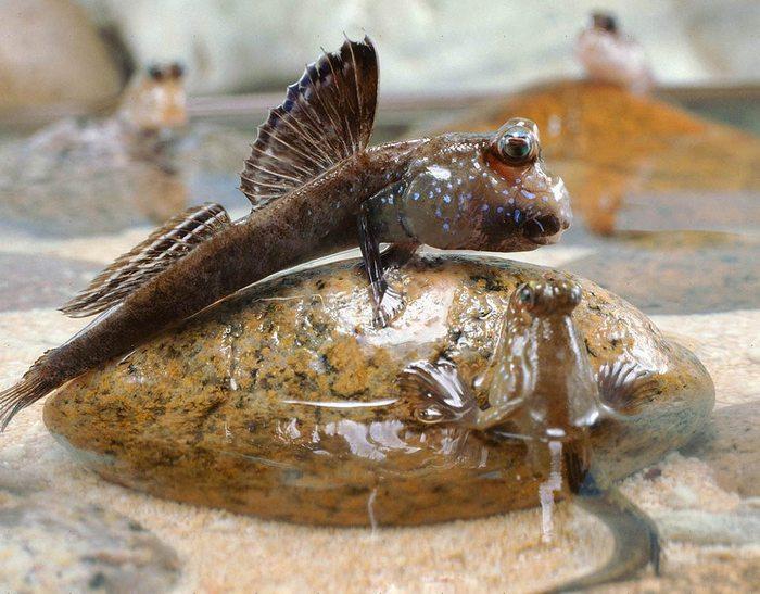 Илистый прыгу является переходной формой от рыб к земноводным