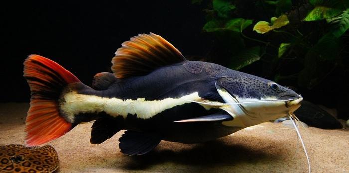 Из-за яркого цвета хвостового плавника рыбка еще известна как краснохвостый сомик