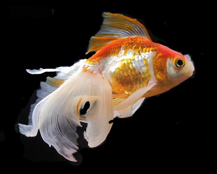 Как и все живые существа, золотые рыбки вуалехвосты подвержены болезням