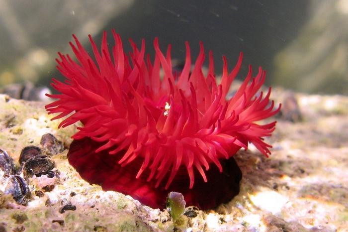 Конские актинии – идеальные кандидаты для содержания в рифовом аквариуме