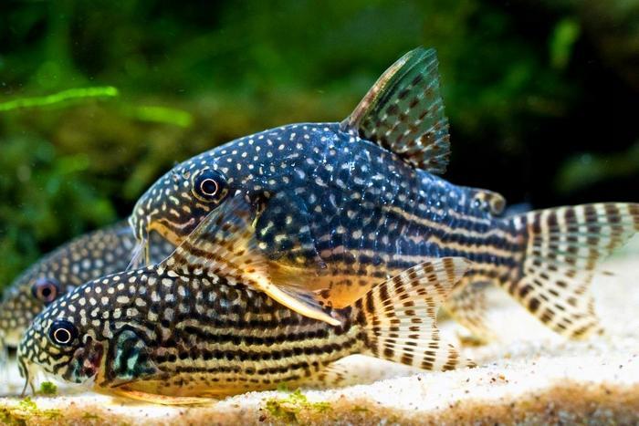 Коридорас Штерба привлекает аквариумистов своей красивой окраской