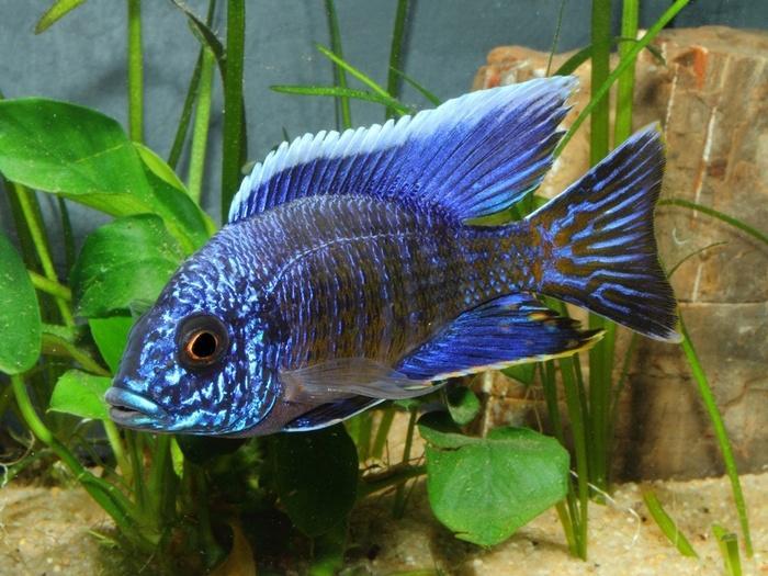 Королева Ньяса – рыбка миролюбивая