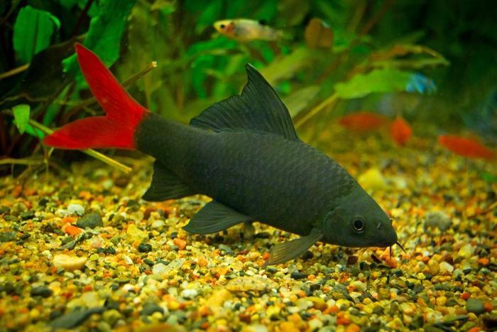 Лабео двухцветного лучше содержать с рыбками аналогичного размера и повадками