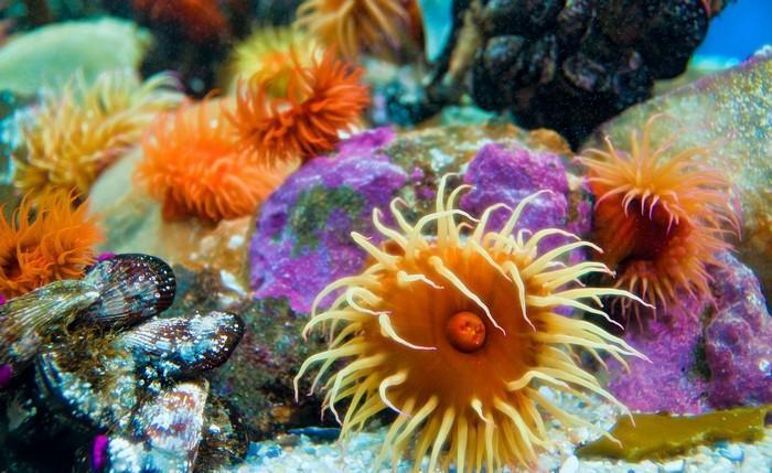 Морские анемоны - одиночные организмы, и не переносят соседства
