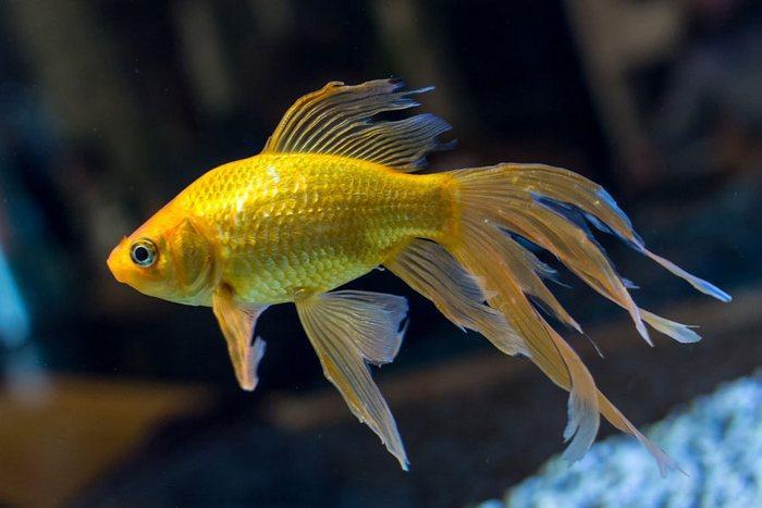 На окрас рыбки влияет степень освещения аквариума и корм