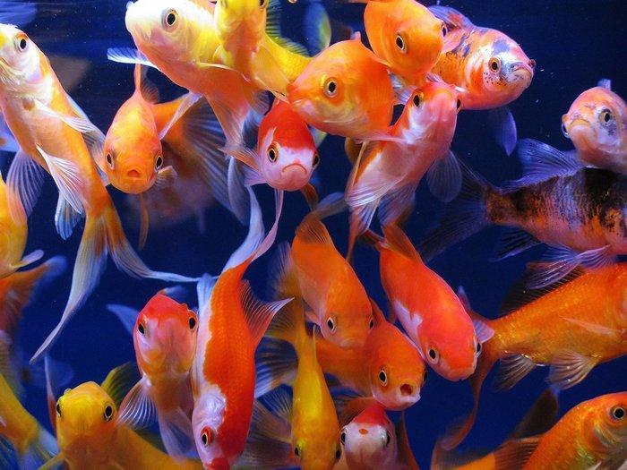 Очень важно учитывать размер резервуара для рыбок, а также его населенность другими особями