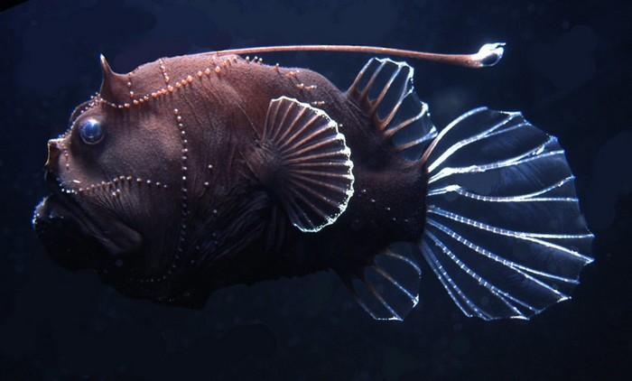 Один из самых интересных обитателей морских глубин — это рыба-удильщик