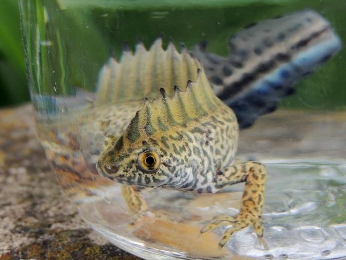 Одному тритону на всю его жизнь хватает аквариума объемом 40-60 литров
